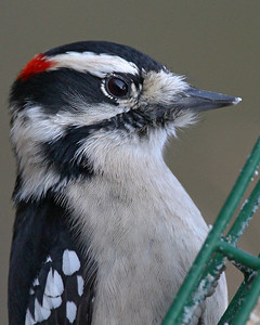 Male Downy Woodpecker, Photographed at Suet Feeder, January 3, 2007.