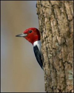 Red Headed Woodpecker, Stephanie's place in Martin County, Indiana, April 25, 2009.