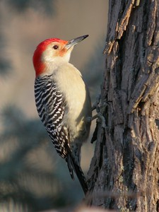 Red Bellied Woodpecker, Backyard, Terre Haute, Indiana, February 23, 2004.