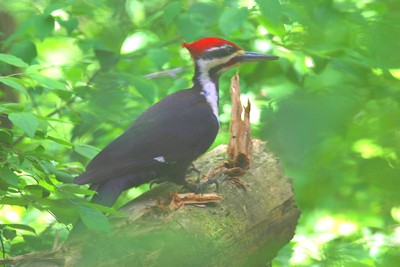 Pileated Woodpecker, Dobbs Nature Preserve, Terre Haute, Indiana, May 2005.