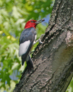 Red Head Woodpecker, along the Wabash River north of Newport, Vermillion County, Indiana, April 24, 2006.