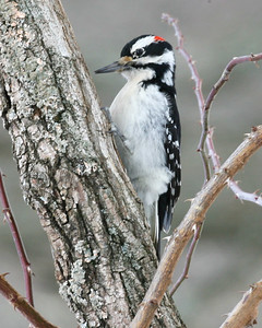 Hairy Woodpecker, Mary Grey Bird Sanctuary, Fayette County, Indiana, February 22, 2007.