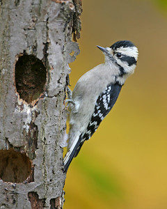 Downy Woodpecker, Backyard, October 22, 2006.