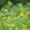 Iowa's American Goldfinch #43