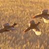 South Dakota, Ring-Necked Pheasant