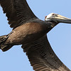 Louisiana'a Brown Pelican