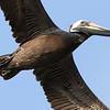 Louisiana'a Brown Pelican