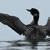 Minnesota's Common Loon #41