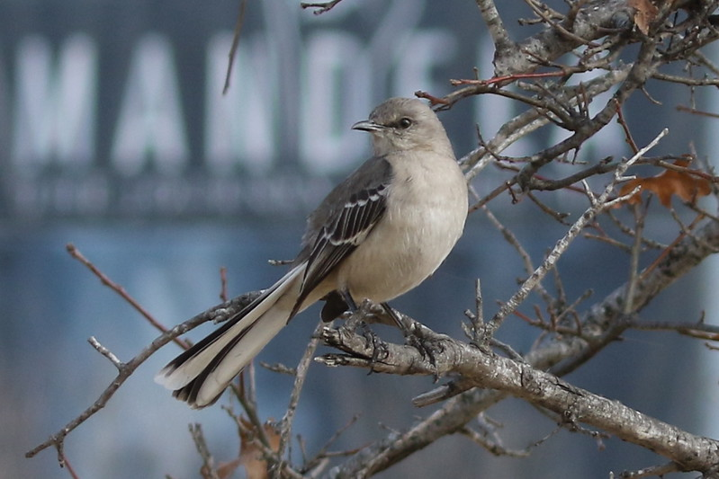 Arkansas's Northern Mockingbird