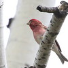 Purple Finch in New Hampshire