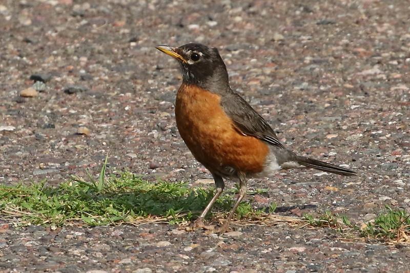 Wisconsin's American Robin #42