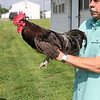 Delawaware Blue Hen Chicken