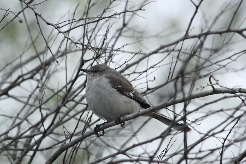 Texas -- Northern Mockingbird