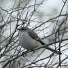 Texas -- Northern Mockingbird