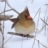 Illinois's Northern Cardinal