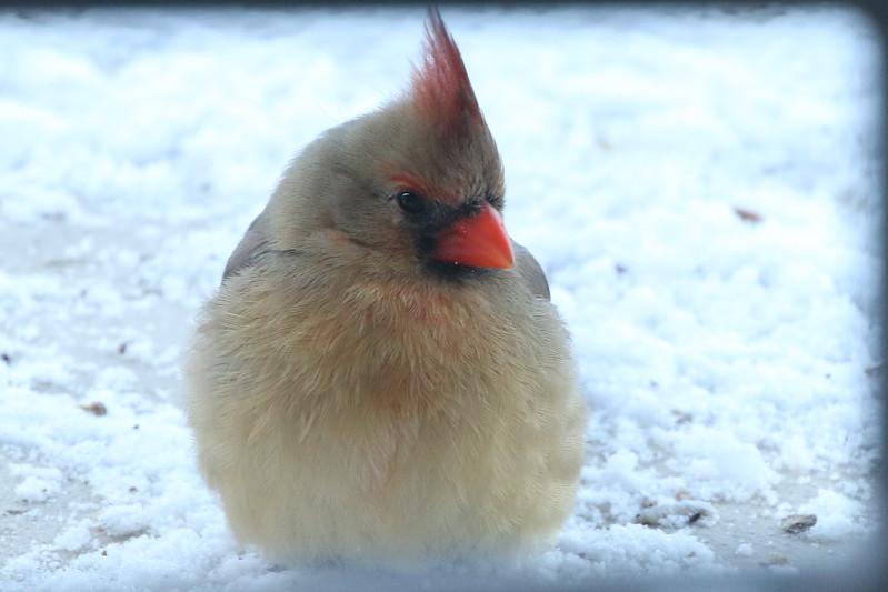 Indiana's Northern Cardinal