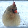 Indiana's Northern Cardinal