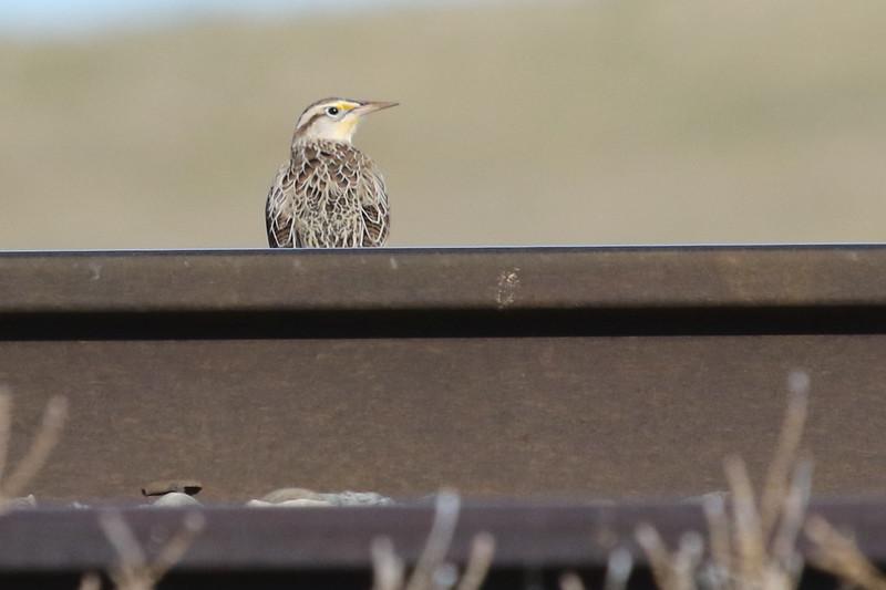 North Dakota Western Meadowlark