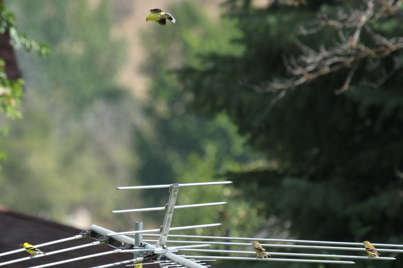Washington -- American Goldfinch