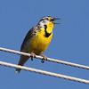 Nebraska -- Western Meadowlark