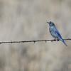 Nevada's Mountain Bluebird