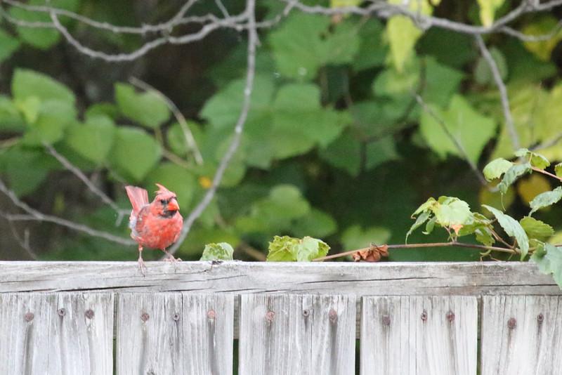West Virginia, Northern Cardinal