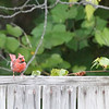 West Virginia, Northern Cardinal