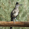 New Mexico -- Greater Roadrunner