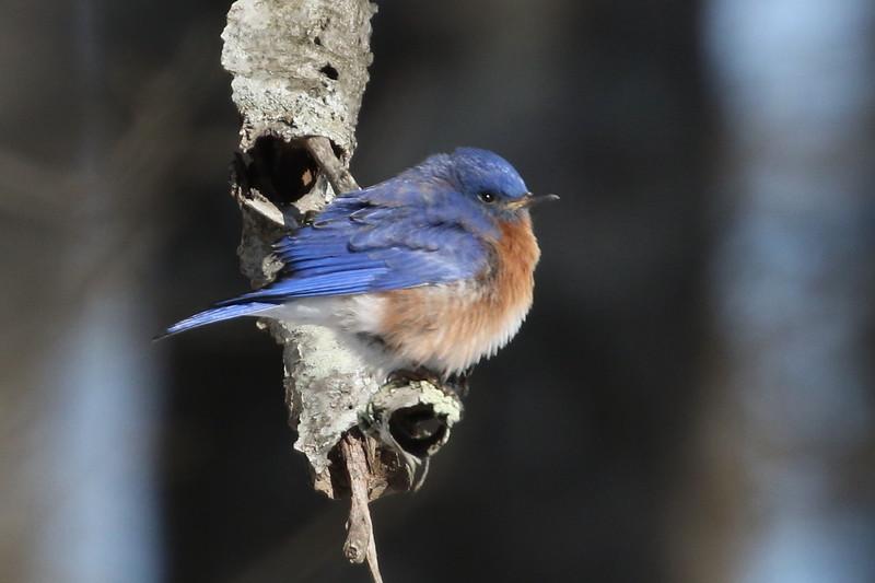 Missouri's Eastern Bluebird