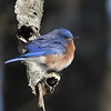 Missouri's Eastern Bluebird