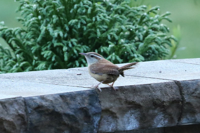 South Carolina's Carolina Wren