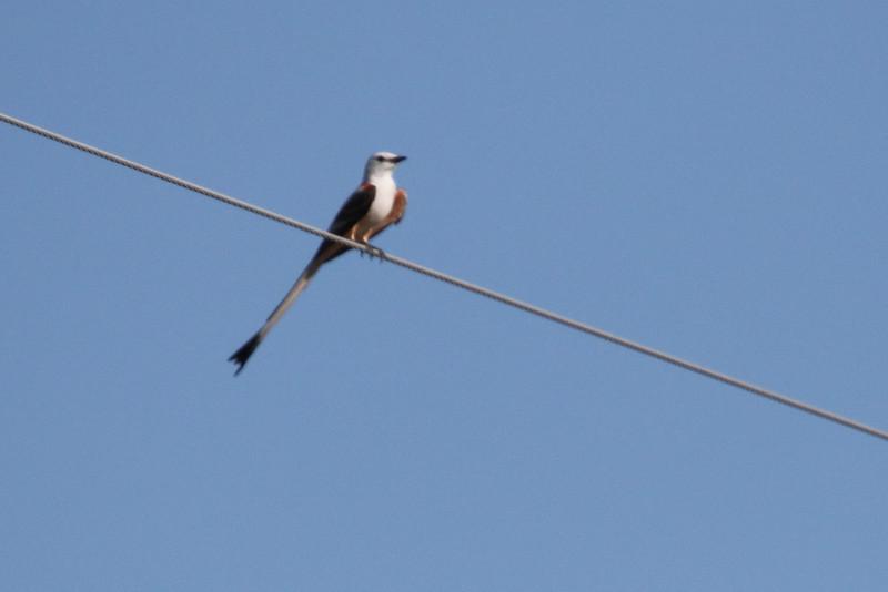 Oklahoma -- Scissor-tailed Flycatcher