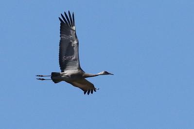 Sandhil Crane, lesser