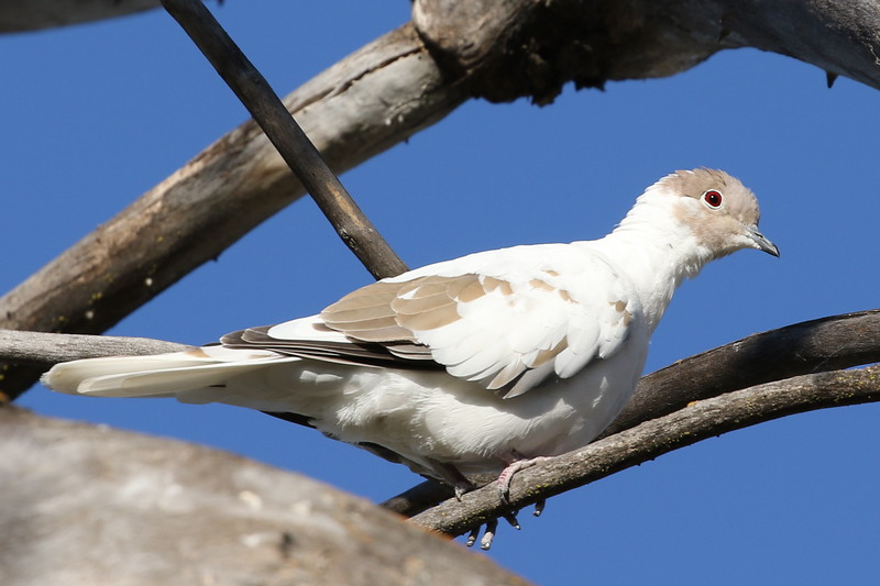 Leucistic Eurasian Collared Dove
