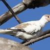 Leucistic Eurasian Collared Dove