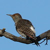 Northern Flicker, Red-Shafted f