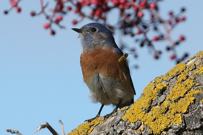 Western Bluebird with Syrphid Fly