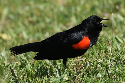 Red-Winged Blackbird (California Bicolored)