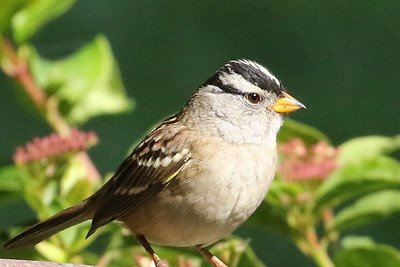 White-Crowned Sparrow, Yellow-Billed