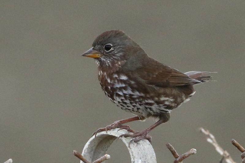 Fox Sparrow, Sooty