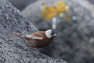 Gray-Crowned Rosy Finch