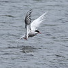 Arctic Tern