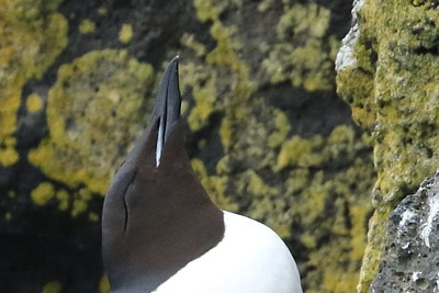 Thick-Billed Murre Resting