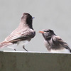 Black Phoebe adult feeding juvenile