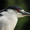 Black-crowned Night Herron with breeding plume