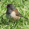 Dark-eyed Junco, Oregon