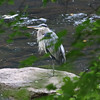Not a State Bird -- Great Blue Heron