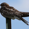 Not a State Bird -- Common Nighthawk