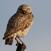 Not a State Bird -- Mid-sized Owl in Texas Panhandle Overlooking a Grain Field at 0630, 2015-06-07. What is it?