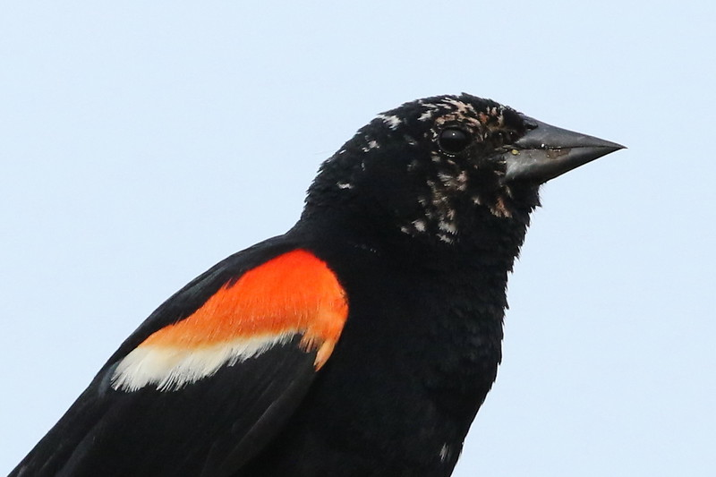 Red-Winged Blackbird, Leucistic